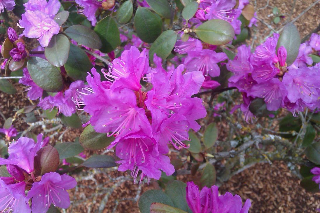 Spring 2011 - Geranium by Abadoss