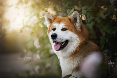 Akita by Wolfskuss