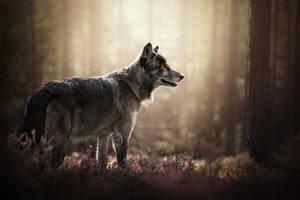 Like a Wolf by Wolfskuss