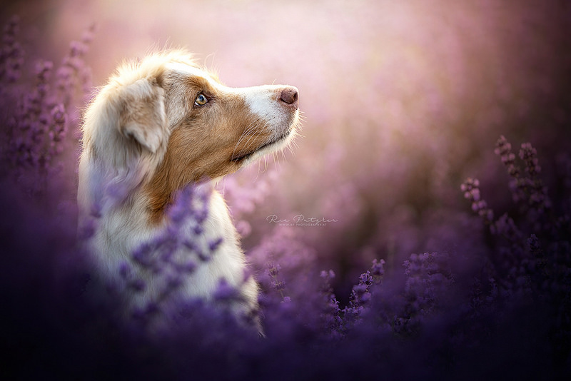 Lavender Dream by Wolfskuss