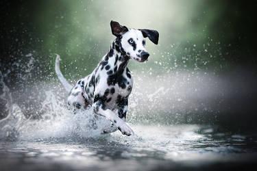 Action Dalmatian