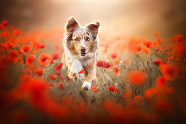 Jumping through the poppies by Wolfskuss