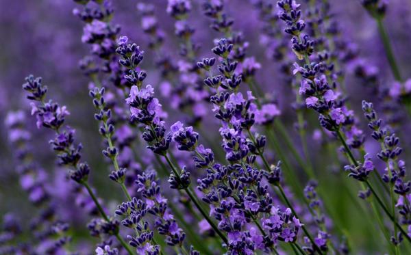 Lavender by purpleplatapus714