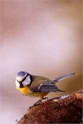 Angry dude - Blue tit