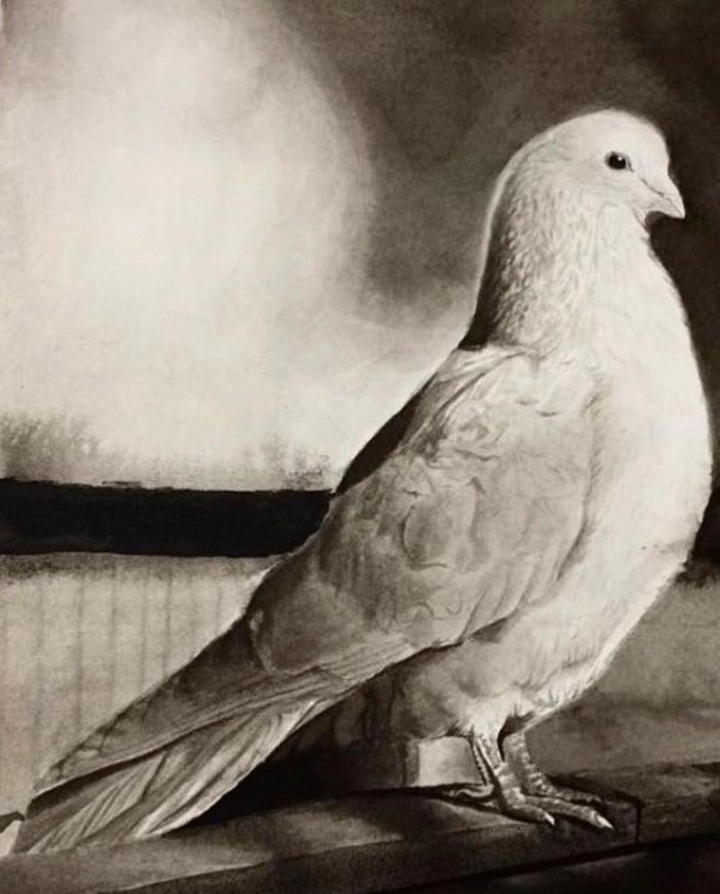 Dove Illustration by kelsmarinoart