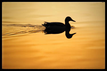 Double Duck by AgilePhotography