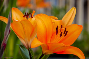 Lillies for You by midnightrider79