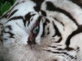 Eye of the White Tiger by fennecx