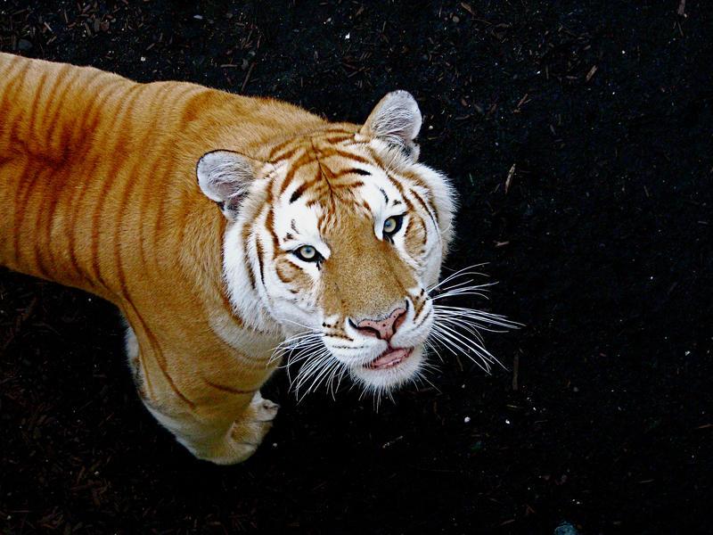 http://fc09.deviantart.net/fs21/i/2007/283/e/7/Golden_Tabby_Tiger_by_fennecx.jpg
