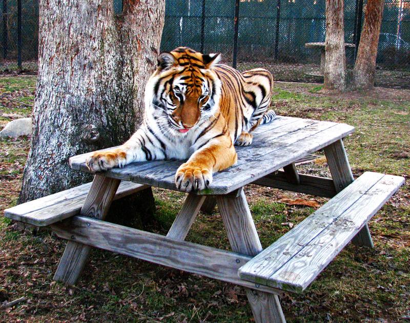 A Tiger by fennecx