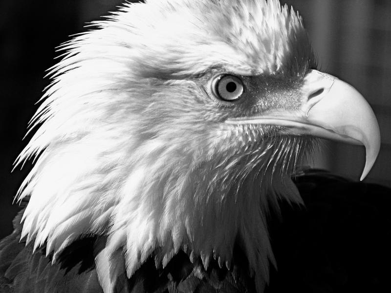 A Bald Eagle Black and White by fennecx on DeviantArt