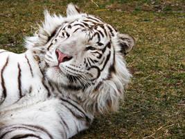 Tiger Bed Head by fennecx