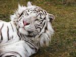 Tiger Bed Head