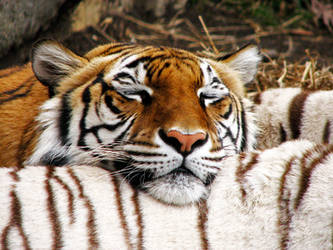 Orange Tiger White Pillow by fennecx