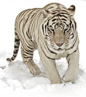 White Tiger in the Snow by fennecx