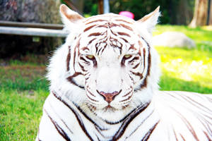 Tiger Hi by fennecx