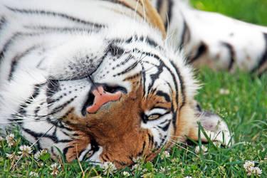 Tiger Nap by fennecx