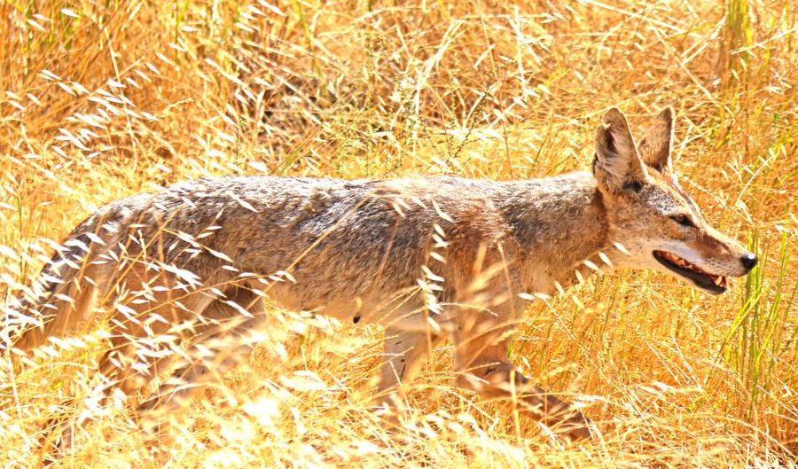 Coyote Mom by fennecx