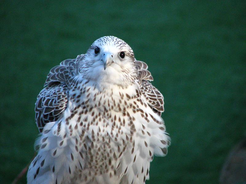 falcon by fennecx