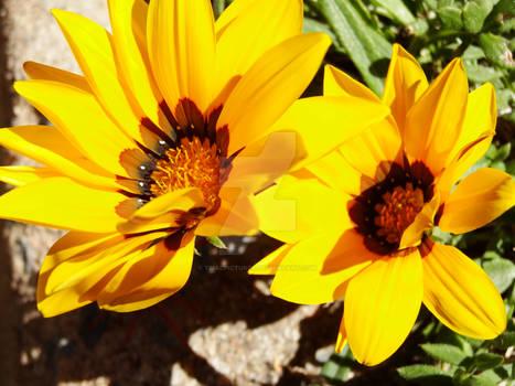 Double Yellow Sunshine