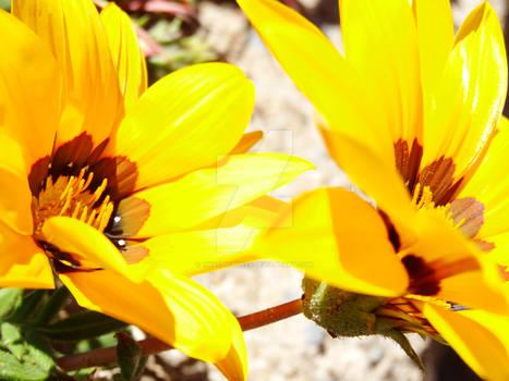 I Love Yellow Flowers