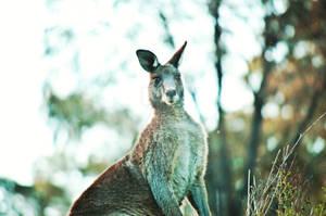 Roo at Googong Dam, NSW