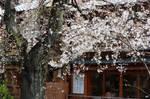 Sakura in Kyoto 01 by Appriory