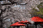 Sakura in Kyoto 02 by Appriory