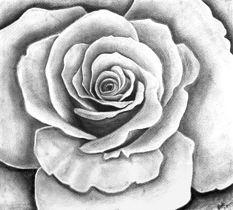 It's just a picture of Satisfactory Charcoal Rose Drawing