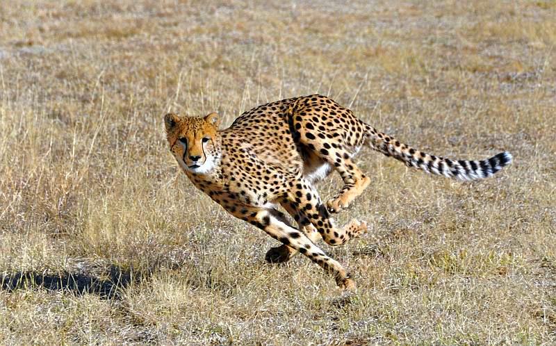 cheetah by olsenbande76