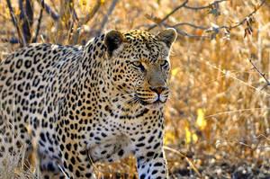 Namibia 2009 Leopard II by olsenbande76