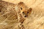 Cheetah 002
