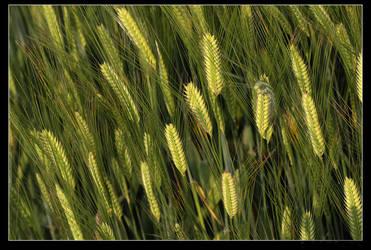 wheat by cnartist