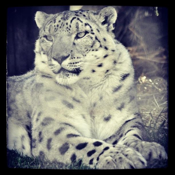 Snow Leopard by Spectrallynx