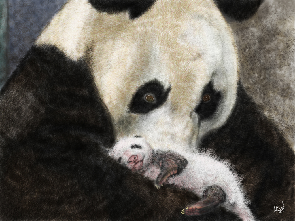 Panda baby search results animal planet galleries