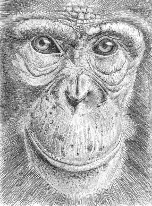 Chimpanzee face by Berilia