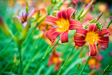 Day Lily by sarafandee