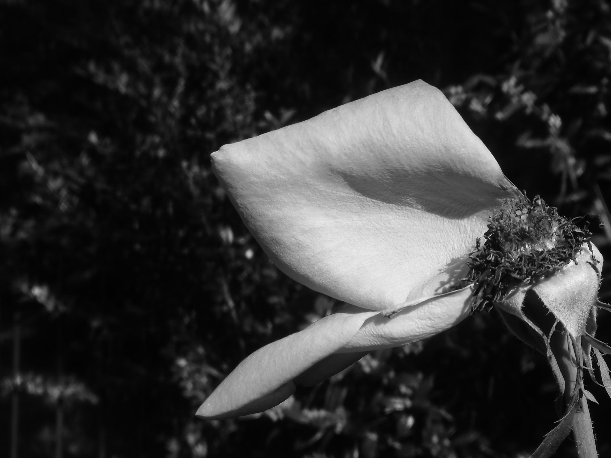 Black Rose Gif Tumblr