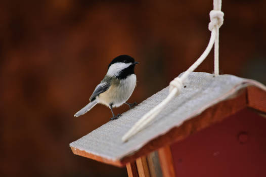 Chickadees On A Cool Winter Afternoon