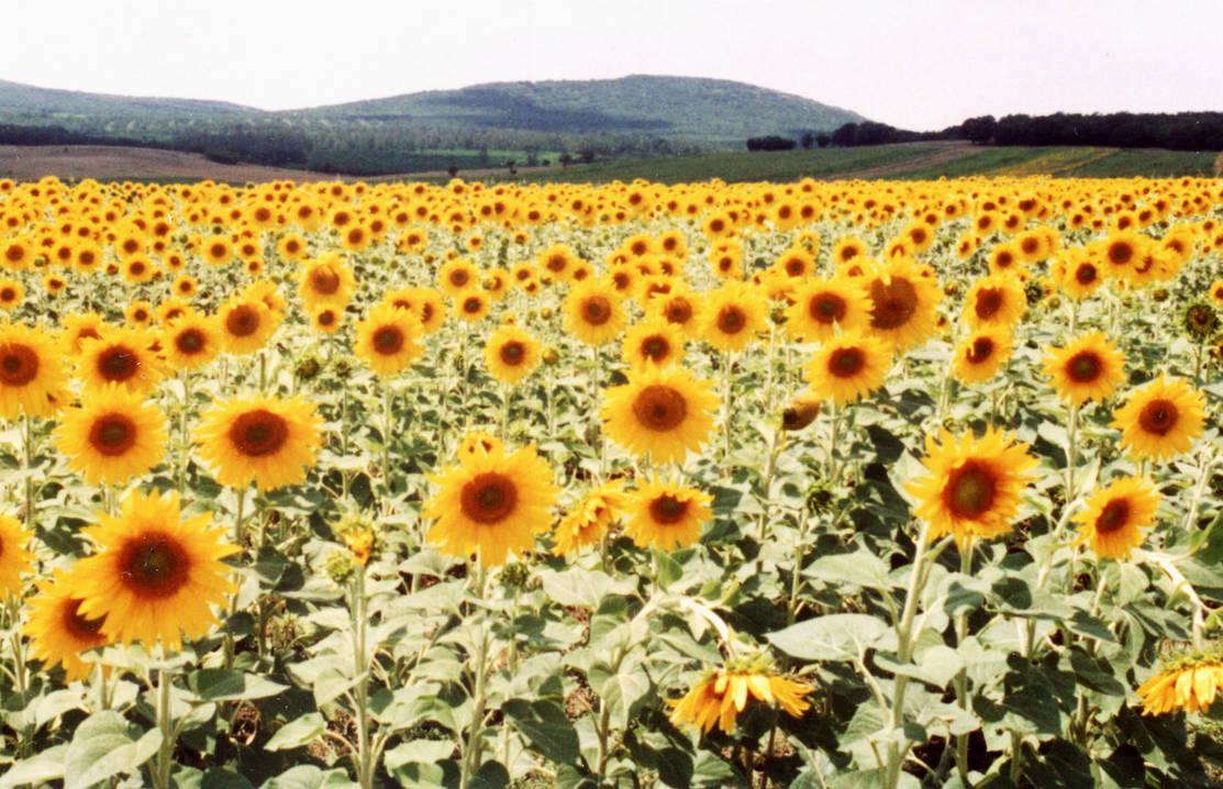 Sunflower by addobos