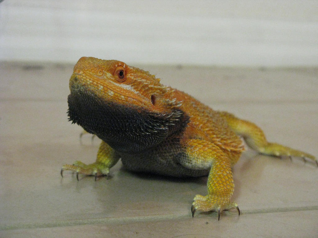 orange bearded dragon by twyliteskyz on DeviantArt