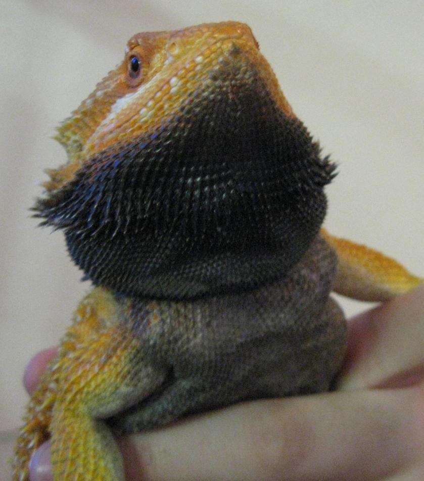 Dragon With Beard orange bearded dragon ...