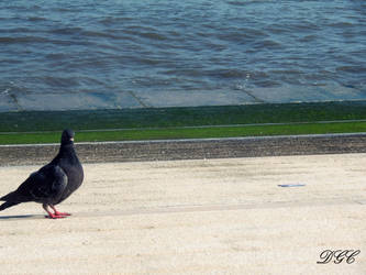 A Pigeon by the River