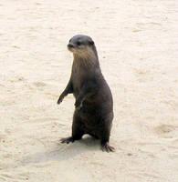 Otter by helzbelzz