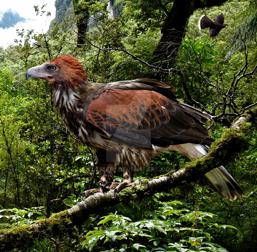 Haast's Eagle Related Keywords - Haast's Eagle Long Tail ...