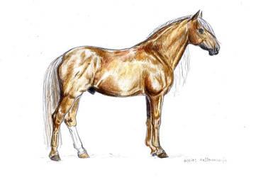 Finnhorse stallion by annnamoi