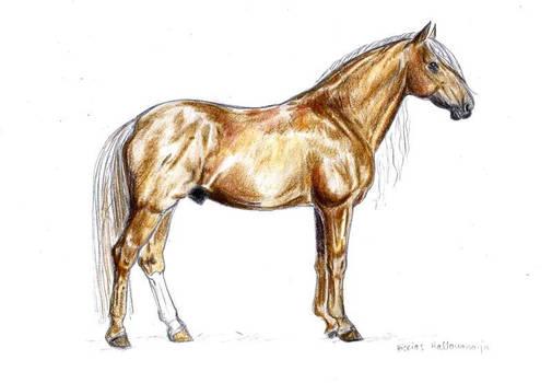 Finnhorse stallion