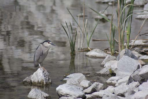 Night Heron 1 by fotomedic