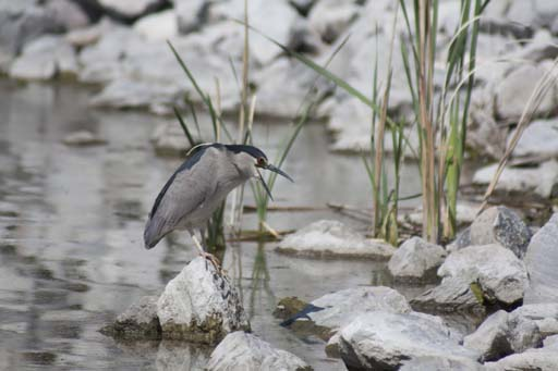 Night Heron 2 by fotomedic