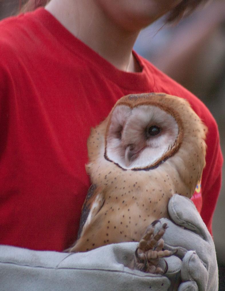 Barn Owl by fotomedic